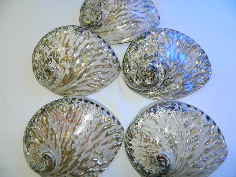 Abalone-Shell-Natural-Polished-16-17-Code-S024-Size16-17cm