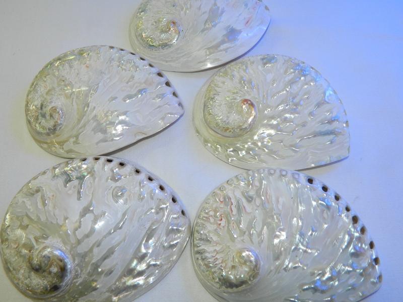 Abalone-Shell-White-Polished-13-14-Code-S060-Size13-14cm