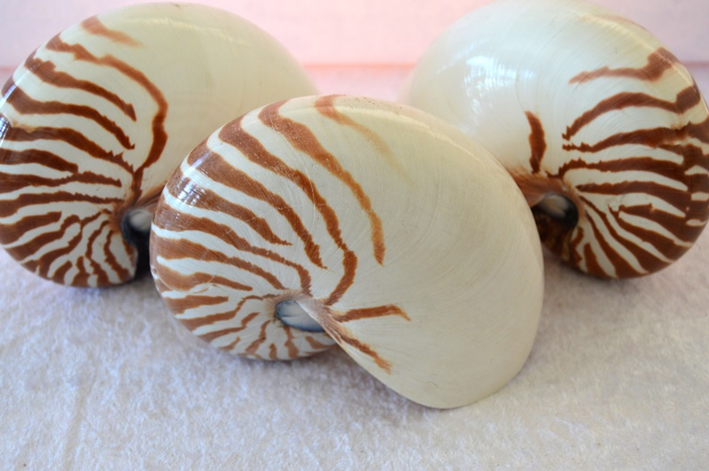 Chambered-Nautilus-Natural-CodeJ222-Size13x16x9cm