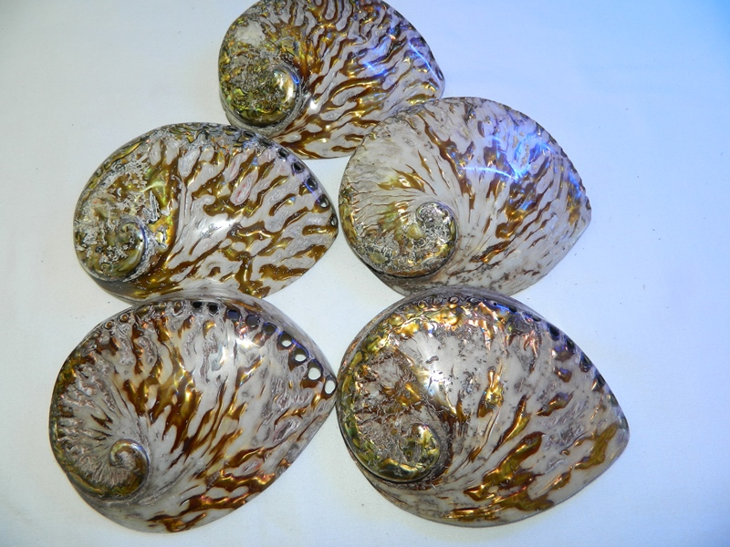 Abalone-Shell-Copper-Polished--14-15-Code-S009-Size14-15cm